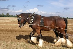 Plough to Propeller 1 October 06-68 (Martin Pettitt) Tags: horses fields punch shire heavy ploughing rougham
