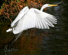 A Gorgeous Egret (Don Baird) Tags: park white bird picnic searchthebest quality flight arboretum takeoff egret orangebeak takeflight specnature specanimal animalkingdomelite