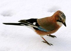 Winter Jay (balsamia) Tags: snow bird fugl 2h geai gaai animalkingdomelite ntteskrike