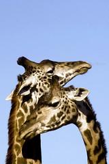 And They Call It ... Giraffe-y Love!! (joschmoblo) Tags: copyright love animal d50 zoo nikon bravo louisville giraffe 18200 allrightsreserved 2007 joschmoblo christinagnadinger