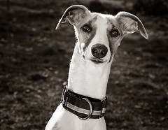 Dash (Piotr Organa) Tags: portrait bw dog white toronto canada black cute face animal puppy nikon adorable whippet sensational thelittledoglaughed lmaoanimalphotoaward pet500 pet1000 pet2000 pet1500