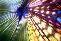 natural rainbow (Jen's Photography) Tags: nature color outside natural palm rainbow pleated green blue light shadows stripes fineart orange explore interestingness nikon scout fdsflickrtoys gulfport gulfportflorida jensphotography bighugelabs fairytale
