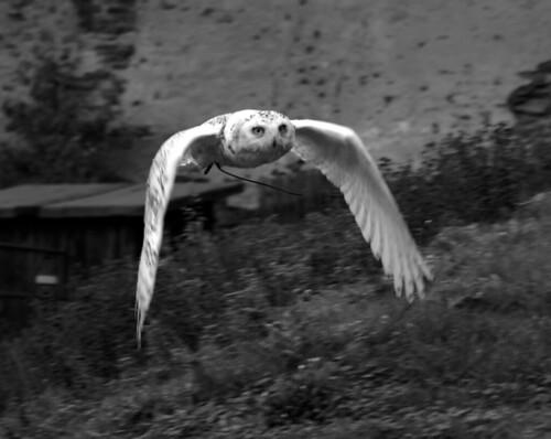 Snowy Owl Approaching