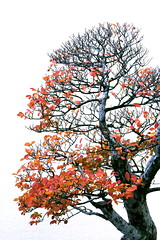 Mini-autumn II (cindyli) Tags: autumn tree fall leaves asian bonsai bonsaitree