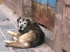 stray dog (mandydale) Tags: dog peru cuzco cusco andes