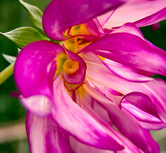 Deep Core Dahlia (0 W8ing) Tags: pink dahlia flowers flower macro green fall yellow closeup catchycolors garden flora searchthebest nikond50 tamron70300 0w8ing
