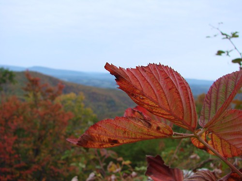 Blackberry leaf, autumn, Blue Ridge Parkway