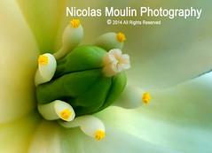 Flor de Yuca (Nicolas Moulin (Nimou)) Tags: flower macro nature fleur up close flor natura yuca raynox kodak6490 macrofoted