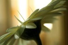 (corbata1982) Tags: light flower luz cortina window lafotodelasemana y flor gérbera janela corbata1982 lfsmicasa venana