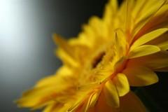 (corbata1982) Tags: light flower luz yellow lafotodelasemana focus dof y flor gérbera corbata1982 lfsdof