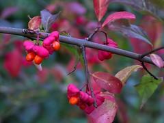 Spindle tree (Glockenblume) Tags: autumn red rot fall pfaffenhtchen spindletree euonymuseuropaeus specnature impressedbeauty