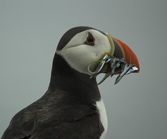 Puffin Breakfast (Magdalen Green Photography) Tags: orange black bird nature birds ferry ilovenature scotland boat fife beak scottish puffin puffins anstruther seabirds isleofmay rspb fraterculaarctica atlanticpuffins specanimal royalsocietyfortheprotectionofbirds animalkingdomelite abigfave