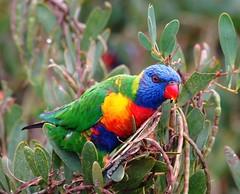 RAINBOW LORIKEET  Trichoglossus haematodus (beeater) Tags: birds lorikeet rainbows rainbowlorikeet avifauna australianbirds trichoglossushaematodus trichoglossus ulludulla