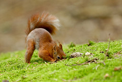 Red Squirrel Burying Food (c) (Richard Peters) Tags: animals nikon wildlife d200 redsquirrel formby nikonstunninggallery animalkingdomelite sb800flash