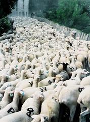 Atasco de ovejas. ¿La salida?