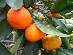 "mandarins • <a style=""font-size:0.8em;"" href=""http://www.flickr.com/photos/70272381@N00/299106482/"" target=""_blank"">View on Flickr</a>"