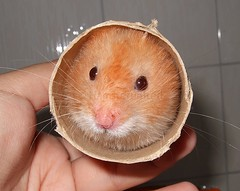 Toilet-roll Milo! (hamsterunited) Tags: pet cute animal furry milo hamster hammy syrianhamster interestingness335 i500