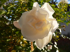 Rose Ende November (oefe) Tags: november white rose wei globalwarming klimavernderung