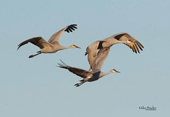 The Sandhill Family (Mike Bader) Tags: indianawildlife indianasandhillcranes indiana sandhillcranes cranes migratorybirds migration birds birdphotography birdmigration avian avianphotography jasperpulaskiwildlifereserve