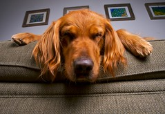 Sammy After Bananabread (Andrew Morrell Photography) Tags: dog golden retriever sammy morrell borell impressedbeauty