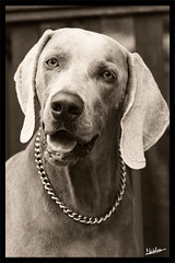 Lucci - Classic Portrait (furry-photos) Tags: portrait dog pet animal mammal canine impressedbeauty