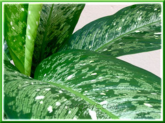 Beautiful variegated leaves of Dieffenbachia Bowmannii Carriere
