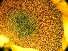 Inside A Sunflower (stefan-23) Tags: pink flowers plants green nature yellow garden lumix purple 2006 panasonic buds fz7
