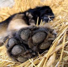 crash out (Dan65) Tags: sleeping dog paw sleep 14 straw explore sleepy tired hay leonberger abigfave impressedbeauty