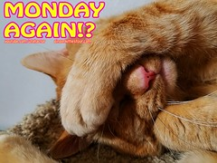 Monday Again!? (youtube.com/utahactor) Tags: gato tom gingerkittiesfour website blog youtube videos hd 4k sony 1080p face monday pink nose whiskers funny lol yellow red orange ginger macro close up freckles paw tabby fur baby male mackerel ears meme