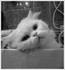 Frikitn (Manme) Tags: bw blanco cat chat bn ojos gato mirada bao bid