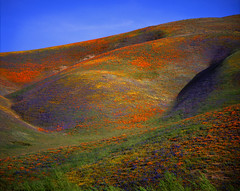gorman wildflowers (jody9) Tags: california topf25 mediumformat landscape topf50 bravo poppies wildflowers topf100 flim pentax6x7 outstandingshots utatafeature fivestarsgallery onlythebest abigfave anawesomeshot impressedbeauty flickrplatinum utata:color=black utata:project=uplandscape bppslideshowfavorite