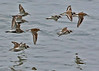 Dunlin and Ringed Plover Flock (Roy Lowry) Tags: dunlin calidrisalpina ringedplover charadriushiaticula wader dovepoint