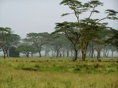 Serengeti in the Mist (geoftheref) Tags: world africa travel trees plants mist plant tree green heritage nature grass rain de tanzania la site interestingness interesting flickr overcast unesco safari afrika serengeti acacia sites drizzle  frica tanzanie lafrique tanznia  geoftheref dellafrica   afrikasafari