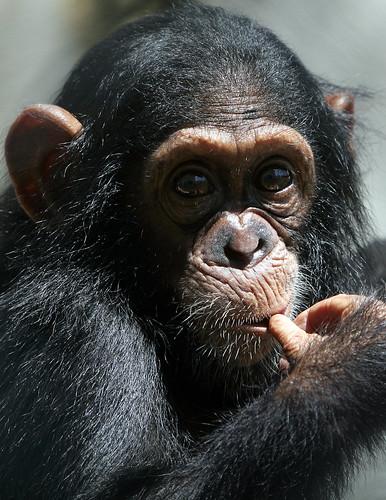 Kikyo the chimpanzee
