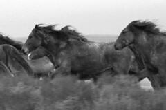 stampede (Shemya) Tags: horses kazakhstan  tengiz