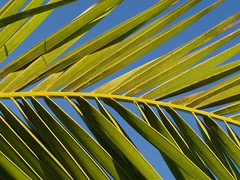 green green green (Iveta) Tags: trees sun green nature colors interestingness fuerteventura natur explore palmtree baum gruen iveta palmen byiveta