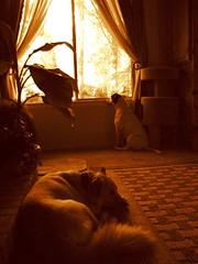 window watching (anandajoy) Tags: sleeping dogs window niko spanky