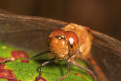 """Common Darter Dragonfly (Sympetrum st(7) • <a style=""""font-size:0.8em;"""" href=""""http://www.flickr.com/photos/57024565@N00/258833621/"""" target=""""_blank"""">View on Flickr</a>"""