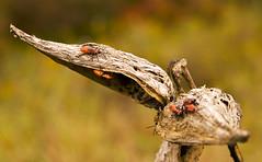 Autumn Pod (bikeracer) Tags: autumn orange bokeh saveme2 deleteme10 bugs harriman beetles pods shallowdof