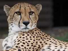 Cheetah, Denver Zoo (chuha) Tags: animal zoo critter denver cheetah zd 40150mm specanimal