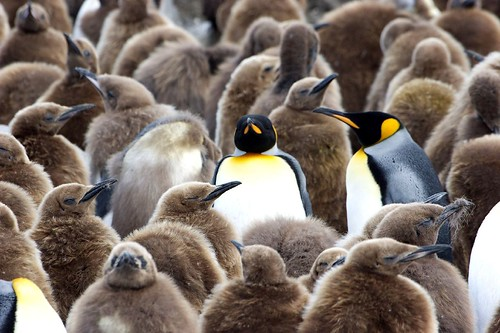 The Antarctic Penguins