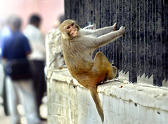 Macaco hindú