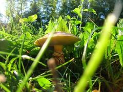 U.M.O. (gimli82) Tags: green nature mushroom grass scout pointofview smurf middleearth titanica