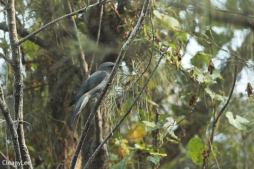 21781 ????? Black-winged Cuckoo Shrike