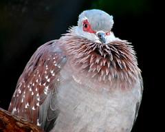 speckled pigeon (mimbrava) Tags: bird topf25 birds topv111 zoo 1 interesting topv555 topv333 bravo 500v20f searchthebest quality interestingness1 mimbrava captive zooatlanta atlant