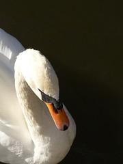 Swan (Dzwjedziak) Tags: autumn geotagged warsaw azienki animalkingdomelite dzwjedziak impressedbeauty geo:lat=52214707 geo:lon=21035525