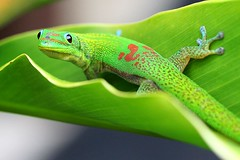 Gecko Crop - Sage Idea (catbutler) Tags: ouryard gecko interestingness60 specanimal animalkingdomelite madagascardaygecko p1f1