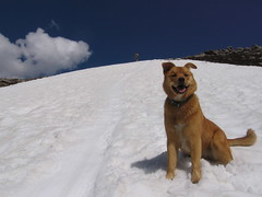 Snow dog. (Spacecat) Tags: camping summer snow mountains rockies hiking glacier rogerspass asulkan illicilliwaet