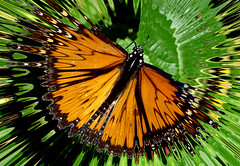 Monarchy (oybay) Tags: macro photoshop butterfly inflight monarch upcloseandpersonal monarchbutterfly spikeyhalo