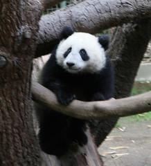 Little Su pops up on the large branch (kjdrill) Tags: bear zoo cub sandiego giantpanda pandas sdzoo sulin